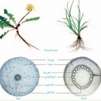 تفاوت ریشه ی گیاهان تک لپه و دو لپه